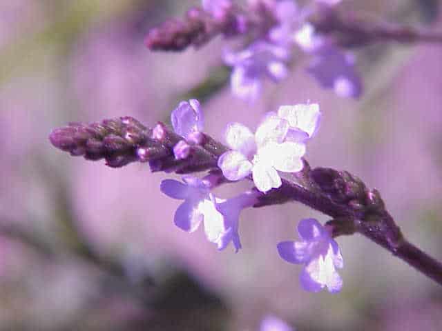 fiori di averbena